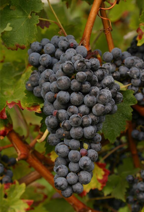 赤霞珠葡萄