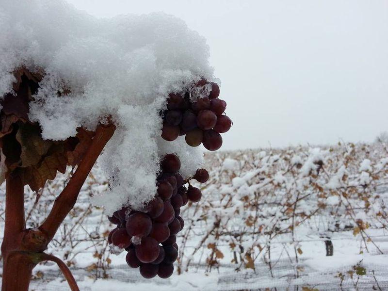 冰冻的葡萄